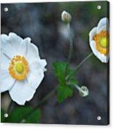 Japanaese Anemone Acrylic Print
