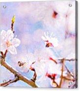 Japanese Cherry - Sakura In Bloom Acrylic Print