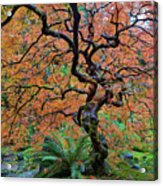 Japanese Garden Lace Leaf Maple Tree In Fall Acrylic Print