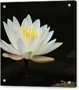 Japanese Garden Lily  Acrylic Print by Ward Photography