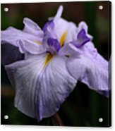 Japanese Iris In Bloom Acrylic Print