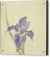 Japanese Iris Acrylic Print