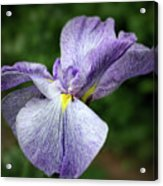Japanese Iris Unfolding Acrylic Print