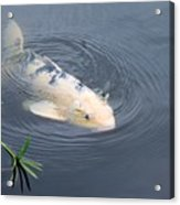Japanese Koi Fish Acrylic Print