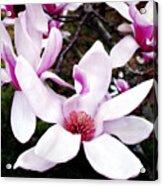 Japanese Magnolia Acrylic Print