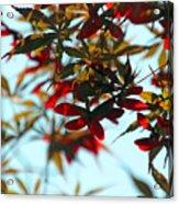 Japanese Maple 1592 Acrylic Print