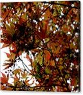 Japanese Maple 2011-1 Acrylic Print