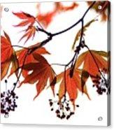 Japanese Maple 2011-2 Acrylic Print