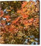 Japanese Maple Beauty Acrylic Print