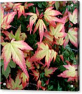 Japanese Maple Acrylic Print by Cynthia Adams