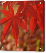 Japanese Maple In Afternoon Acrylic Print