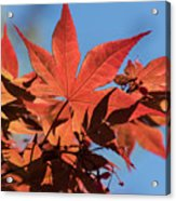 Japanese Maple In Sunlight Acrylic Print