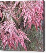 Japanese Maple In The Rain Acrylic Print