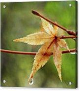 Japanese Maple In The Rain Acrylic Print