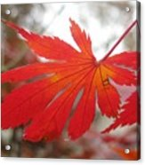 Japanese Maple Leaf 1 Acrylic Print