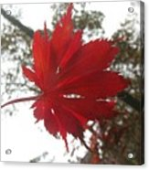 Japanese Maple Leaf 2 Acrylic Print