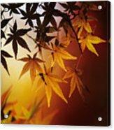 Japanese Maple Leaf Acrylic Print
