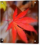Japanese Maple Leaf Acrylic Print