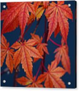 Japanese Maple Leaves In Autumn Acrylic Print