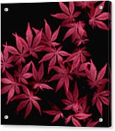 Japanese Maple Leaves Acrylic Print