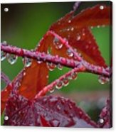 Japanese Maple On A Rainy Day Acrylic Print