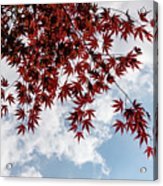 Japanese Maple Red Lace - Horizontal View Downwards Right Acrylic Print