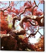 Japanese Maple Tree In Spring Acrylic Print
