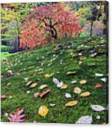 Japanese Maple Tree On A Mossy Slope Acrylic Print