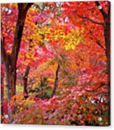 Japanese Maple Trees Acrylic Print by I love Photo and Apple.