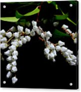 Japanese Pieris 2011-3 Acrylic Print