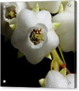 Japanese Pieris 2011-7 Acrylic Print