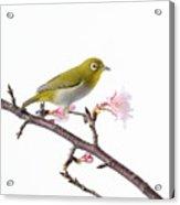 Japanese White Eye Acrylic Print