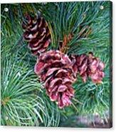 Japanese White Pine Pinecones Acrylic Print