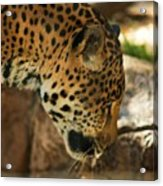Jaquar Drinking Water Acrylic Print