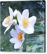 Jasmin Flower Acrylic Print