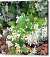 Jasmine In Bloom Acrylic Print