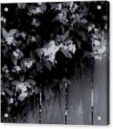Jasmine Acrylic Print