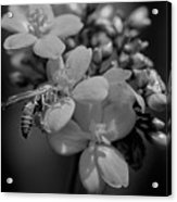 Jatropha Blossoms Wasp Painted Bw Acrylic Print