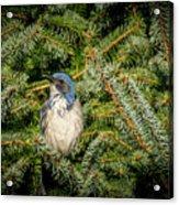 Jay In Tree Acrylic Print