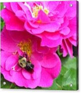 Jc And Bee Acrylic Print