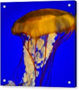 Jellyfish In Blue Waters Acrylic Print