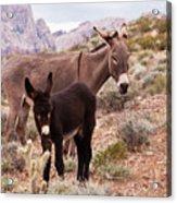 Jennys Foal Acrylic Print