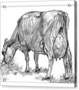 Jersey Milking Cow Acrylic Print