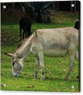 Jerusalem Donkey Grazing In A Field Acrylic Print