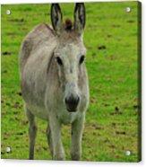 Jerusalem Donkey On A Farm Acrylic Print