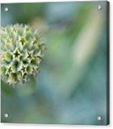 Jerusalem Sage Seed Head Acrylic Print