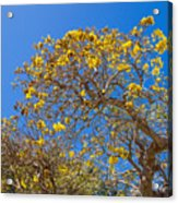 Jerusalem Thorn Tree Acrylic Print