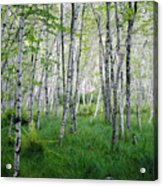 Jesup Path Birches Acrylic Print