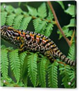 Jeweled Chameleon Furcifer Lateralis Acrylic Print