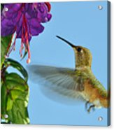 Jeweled Rufous In Afternoon Light Acrylic Print